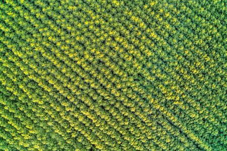 Even diagonal illuminated rows of unblown sunflowers in the field Top view