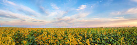 Rural landscape with wind power plant in the green sunflower field and cloudy sky. Large and wide panoramic view
