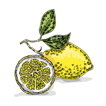 citrus tree: Hand drawn lemon. Vector illustration. Sketch style Illustration