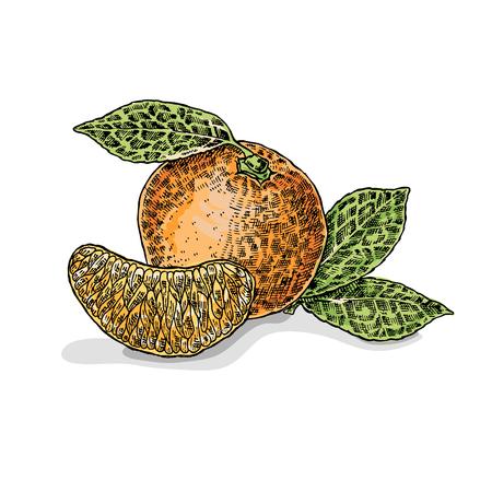 unfurl: Hand drawn orange. Vector illustration. Sketch style