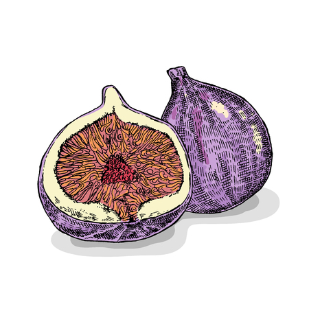 fig: Hand drawn fig fruit. Vector illustration. Sketch style Illustration