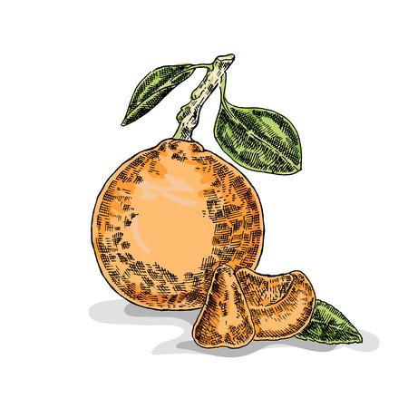 rinds: Hand drawn orange. Vector illustration. Sketch style