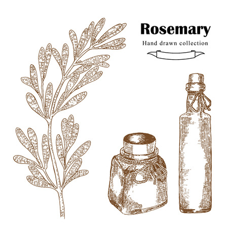 sprig: Hand drawn rosemary sprig in sketch style. Herbs and spices illustration