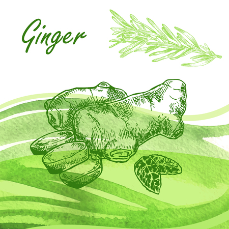 rosemary: Kitchen herbs. Hand drawn ginger and rosemary on watercolor background. Vector illustration