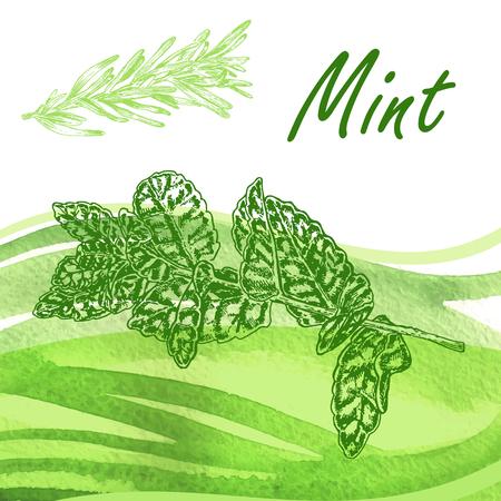 dry grass: Hand drawn fresh mint. Vector illustration Illustration