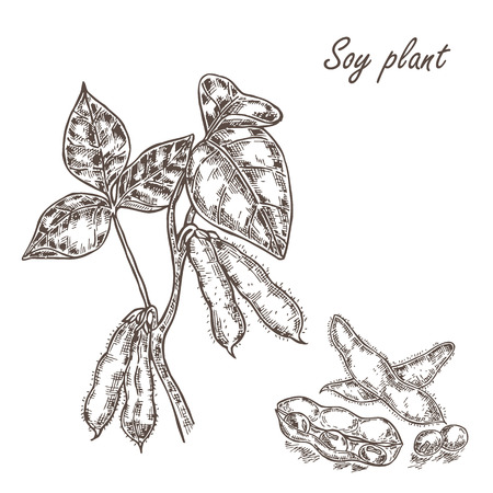 soybean: Hand drawn soy plant and soybean. Vector illustration in sketch style