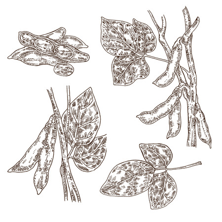 Hand drawn soy set. Vector illustration soy plant and soybeans