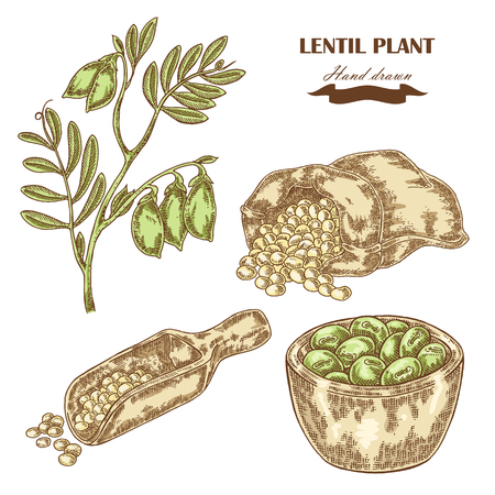Hand drawn lentil plant. Wooden scoop with beans. Vector illustration