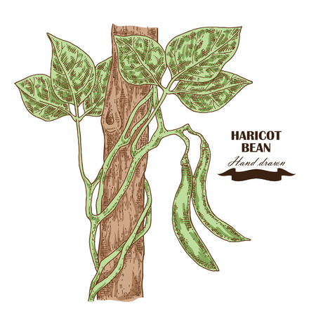 planta de frijol: Mano planta de la jud�a dibujado. ilustraci�n vectorial