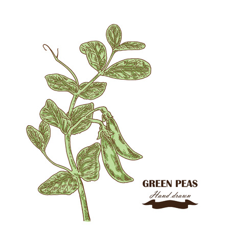 Hand drawn peas plant. Vector illustration in sketch style Çizim