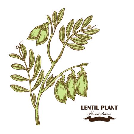Hand drawn Lentil plant. Vector illustration in sketch style