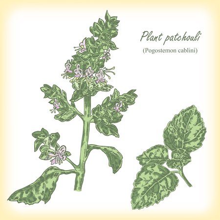 Plant patchouli (Pogostemon cablini). Hand drawn vector illustration in sketch style Ilustração