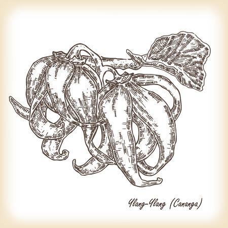 Cosmetic herbs. Plant Ylang-Ylang (Cananga). Hand drawn vector illustration in sketch style Illustration