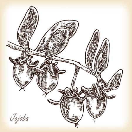 chinensis: Jojoba fruit. Hand drawn vector illustration in sketch style