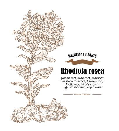 Rhodiola rosea or golden root illustration. Hand drawn medicinal plants in sketch style Illustration