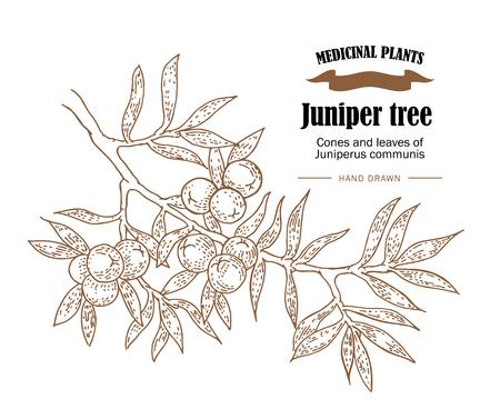 Juniper Baum Illustration. Kegel ans Blätter von Juniperus communis. Hand gezeichnet Heilpflanzen in Skizze Stil Standard-Bild - 67584134