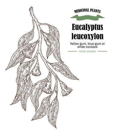 Hand drawn eucalyptus leaves and fruits. Eucalyptus leucoxylon, Yellow gum, blue gum or white ironbark branch.