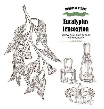 eucalyptus: Hand drawn eucalyptus leaves and fruits. Eucalyptus leucoxylon, Yellow gum, blue gum or white ironbark branch.