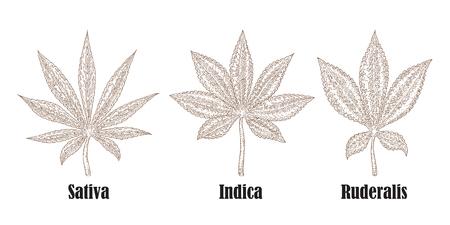 Planta de cannabis dibujado a mano. Colección de hierbas medicinales. Ilustración del vector