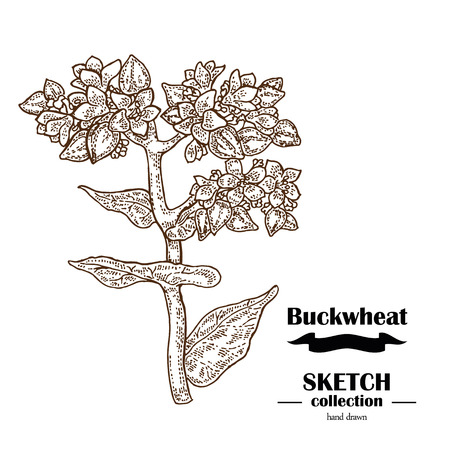 Buckwheat sketch. Hand drawn cereal. Vector illustration