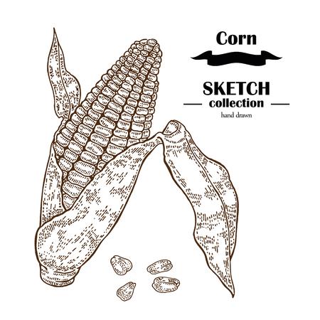 planta de maiz: Corn sketch. Hand drawn maize plant. Cereal vector illustration Vectores