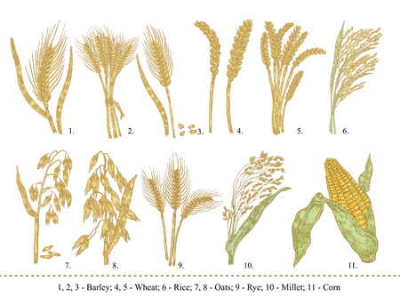 Cereal set. Hand drawn barley, wheat, rice, oats, rye, millet, corn isolated on white 向量圖像