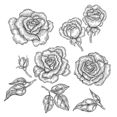 ink sketch: Hand drawn rose flowers and leaves isolated on white background. Vector illustration in engraved style Illustration