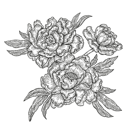 Hand drawn spring peony flowers and leaves isolated on white background. Vector illustration in engraved style