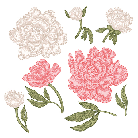 Hand drawn spring peony flowers and leaves. Vintage floral collection. Vector illustration. Illustration