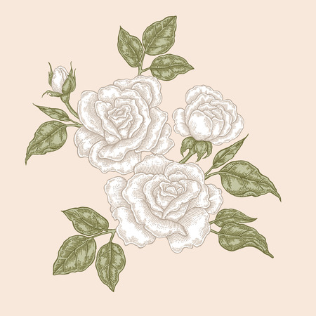 White rose flowers and leaves in vintage style. Hand drawn botanical vector illustration. Floral design elements