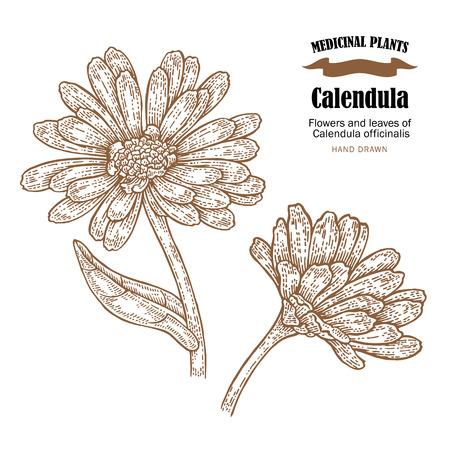 Calendula plant vector illustration. Flowers ans leaves of Calendula officinalis. Hand drawn medicinal plants and herbs.