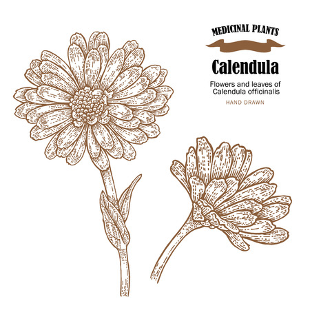 aromatic: Calendula plant vector illustration. Flowers ans leaves of Calendula officinalis. Hand drawn medicinal plants and herbs.