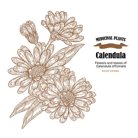 calendula: Calendula plant vector illustration. Flowers ans leaves of Calendula officinalis. Hand drawn medicinal plants and herbs.