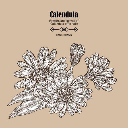 calendula: Hand drawn calendula flower. Medicinal herbs in sketch style. Vector illustration vintage