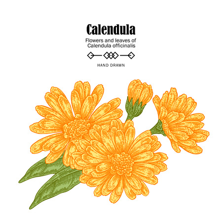 Vector illustration calendula flowers on white background. Medicinal herbs in sketch style