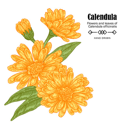 calendula: Vector illustration calendula flowers on white background. Medicinal herbs in sketch style
