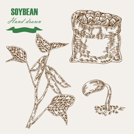 Hand drawn soy plant. Soy twig and soybean. Vector illustration in sketch style