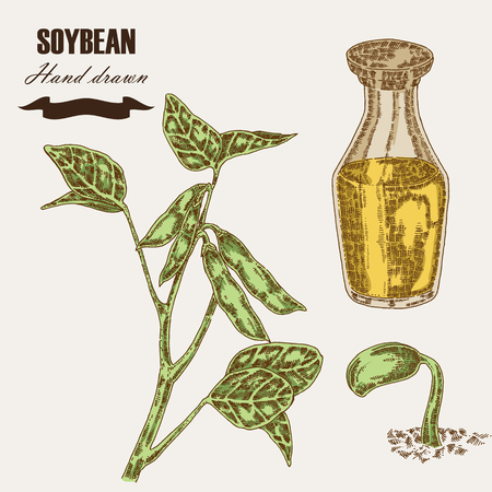 soy bean: Hand drawn soy plant. Soybean and soy oil in glass bottle. Vector illustration in sketch style