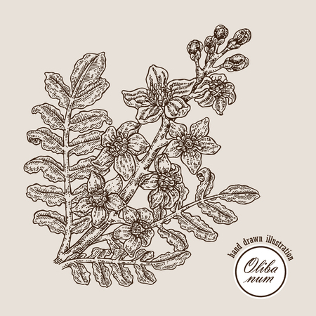Hand drawn olibanum tree branch with flowers. Boswellia sacra vector illustration engraved style