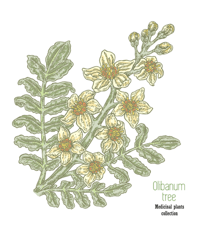 Hand drawn olibanum tree branch with flowers. Boswellia sacra vector illustration.