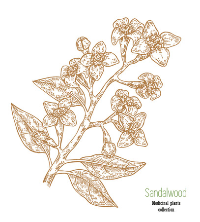 Hand drawn sandalwood branch isolated on white background. Vector illustration medicinal plant in sketch style
