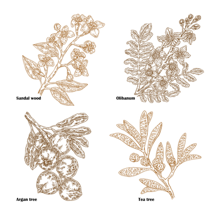 Hand drawn sketch perfumery and cosmetics plants. Vector illustration sandalwood, tea tree, olibanum and argan branch isolated on white background