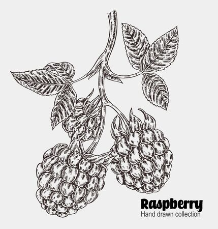 Sketchy raspberry branch. Hand drawn berries collection. Vector illustration vintage Illustration