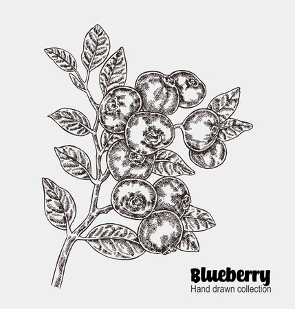 Sketchy blueberry branch. Hand drawn berries collection. Vector illustration vintage Illustration