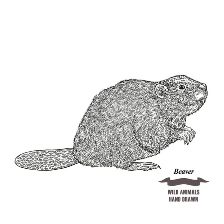 Forest animal beaver. Hand drawn black ink sketch on white background. Vector illustration engraving style.