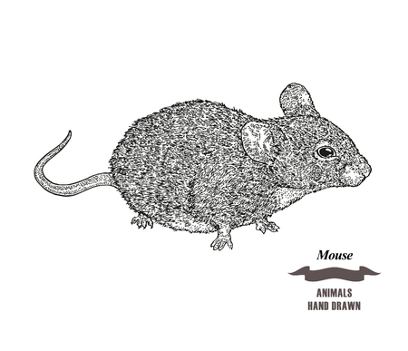 Hand drawn mouse or rat animal. Black ink sketch on white background.