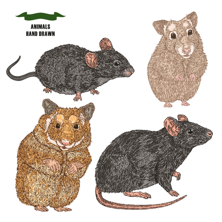 Hand drawn rat, mouse and hamsters. Colored sketch animal on white background vector illustration vintage.