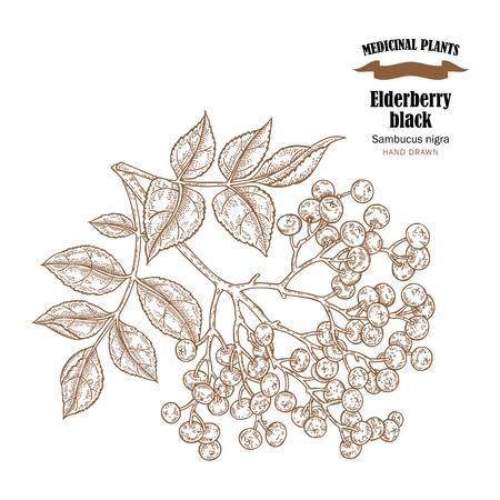 Elderberry black common names sambucus nigra. Hand drawn elder branch vector illustration isolated on white background. Illustration