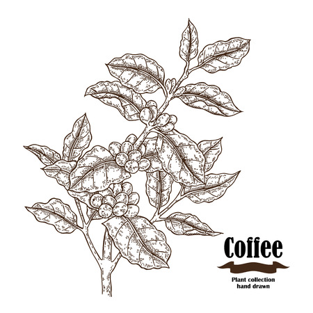 Hand drawn coffee branch with berries and leaves isolated on white background. Vector illustration engraved.