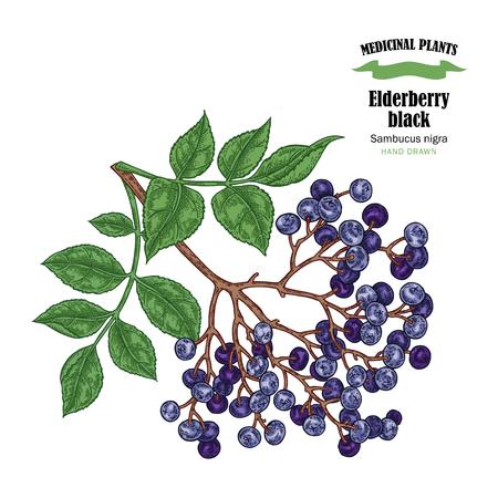 Elderberry black common names sambucus. Hand drawn elder branch vector illustration isolated on white background.